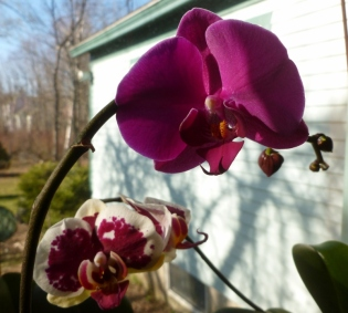 Orchids reblooming