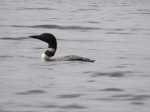Loon on Echo Lake by Lynda