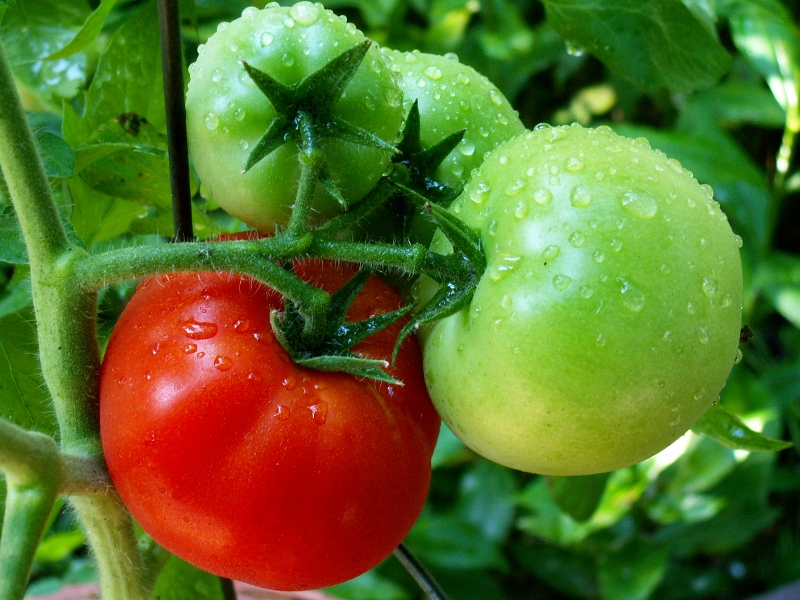 tomatoes ripening in the garden