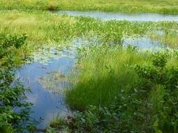 marsh green