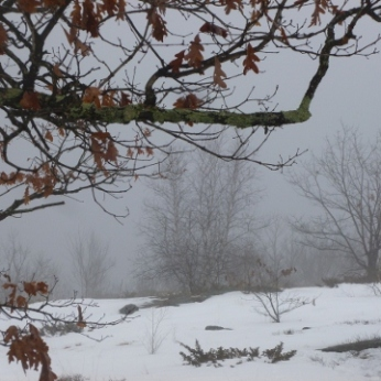 Trees through the fog