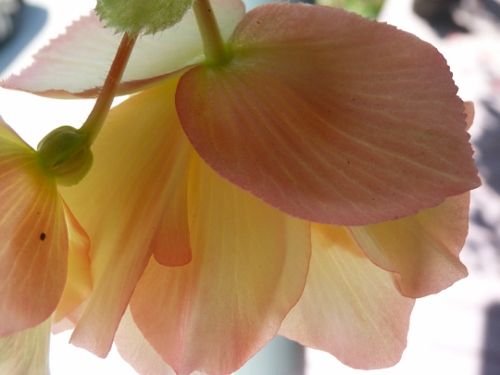 The sun back lights the blossoms of the begonia plant that hangs on my porch in the summer.