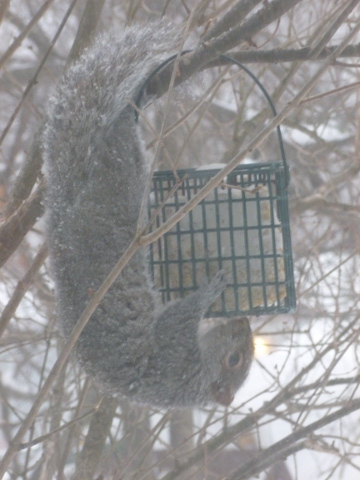 hungry squirrel eating suet our of the bird feeder