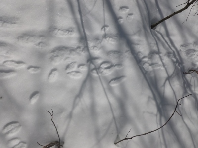 animal superhighway!  Snowshoe hare and???