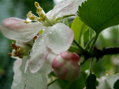 Can you smell how sweet scent of  apple blossoms after the rain?