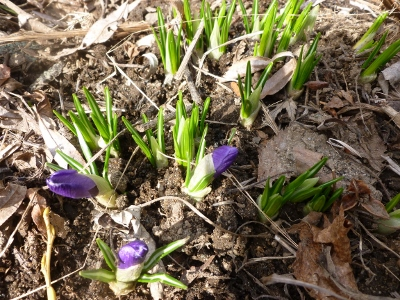 one day this was a bare brown patch and the next the crocus leap forth!