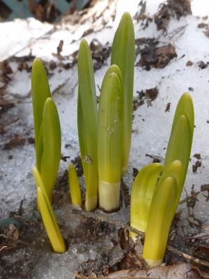 daffodils grow thru snow