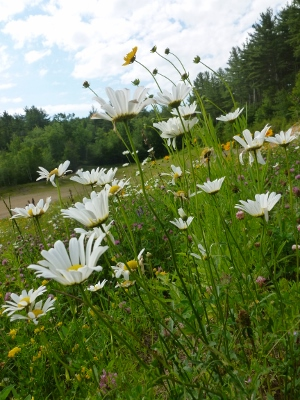 Natures garden of wild daisies