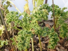 kale survived the winter in the hoop house