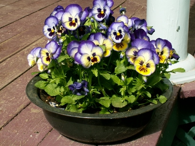I usually pot up some pansies the first weekend in April.  What color should I plant this year?