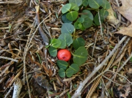 look what emerged from the snow - partridge berry!
