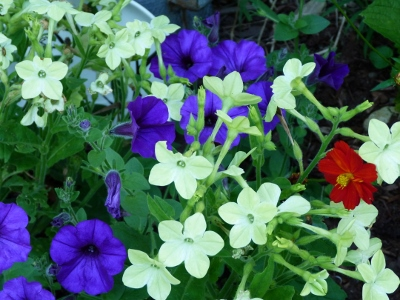 Purple petunia, white nicotiana & orange cosmos.  What annuals should I plant at the edge of the perennial bed this year?  Am thinking edibles - maybe eggplant.