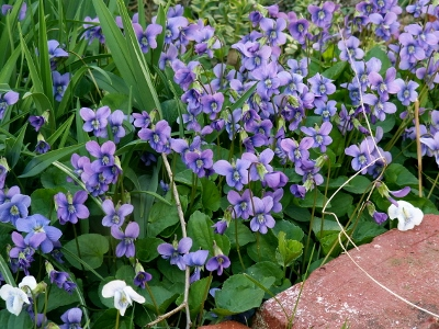 Tiny violet seeds propel themselves across the soil and provide a warm sea of purple in the spring.