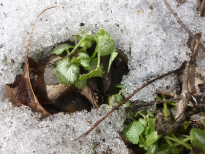 the silver and green of white nancy lamium emerge from beneath the snow