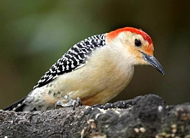red-bellied woodpecker by Richard Lee on Cornell University Ornithology site.  Click on over and hear this bird's call.