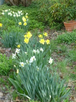 swath of daffs