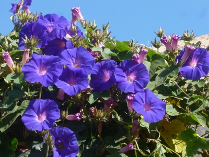 "morning glories at the ""eco-apartment"" Monte da cunco in Carrapateira"