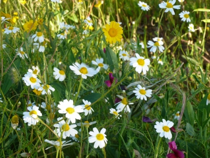 Wildflowers growing at the edge of a farmer's field near the Megaliths.