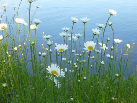 Daisies by river