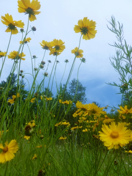 naturalized coreopsis