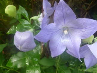 balloon flower with rain drops