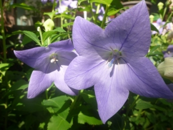 balloon flower pair