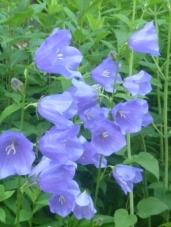 blue bell flower