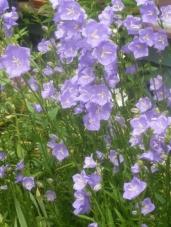 cluster blue bell flower