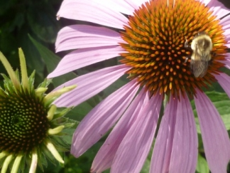 coneflower and bumblebee