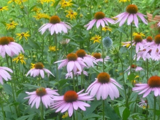 coneflower and rudebekia