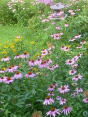 sea of coneflowers