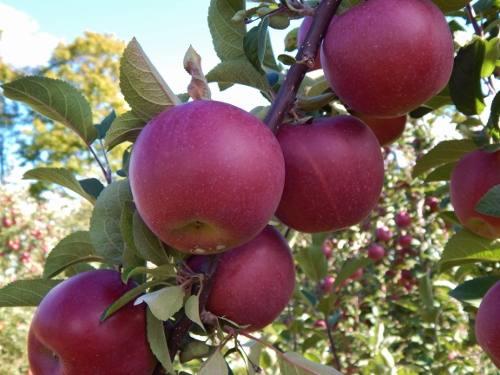 1 apples at butternut (12) copy (500x375)