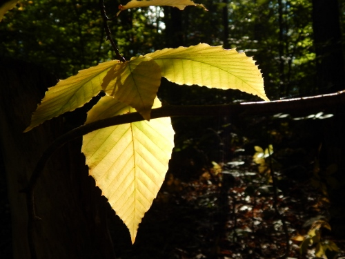 1 beech leaves (500x375)