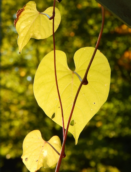 morning glory leaves show the love