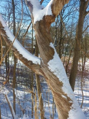 dead oak wearing snow