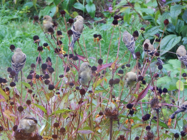gold finch eating flower seeds (8) (600x450)