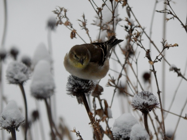 goldfinches in garden (4) (600x449)