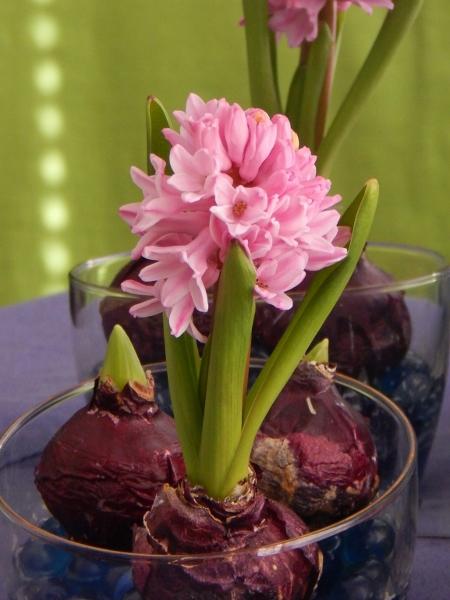 hyacinth 5 (450x600)