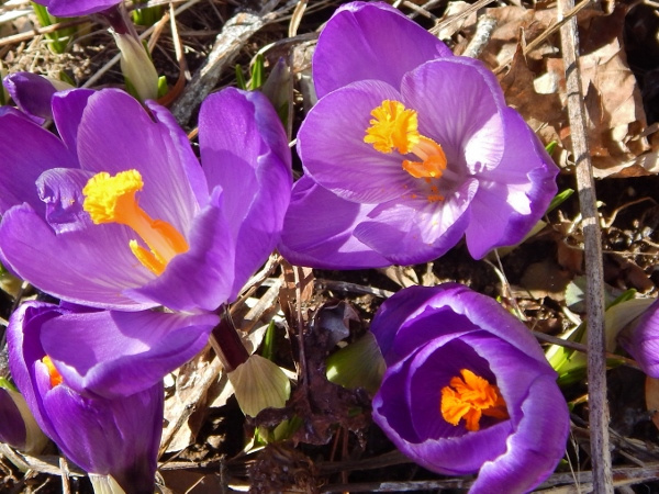 first crocus - April 4, 2014