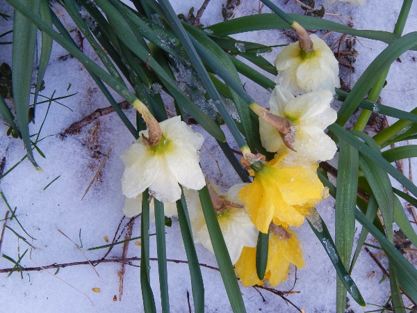daffodils wearing a wrap of snow