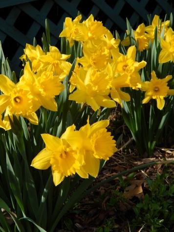 daffodils 2 (2) (356x475)