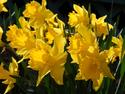 daffodils dressed in yellow (2) (400x300)