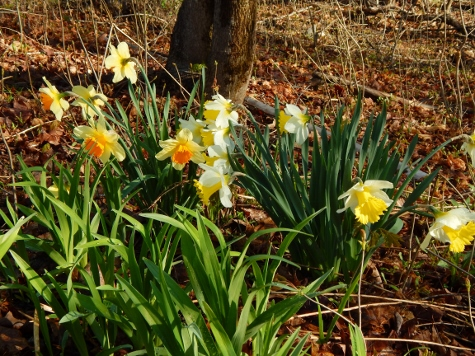 daffodils at edge of trees with day lilies in foreground