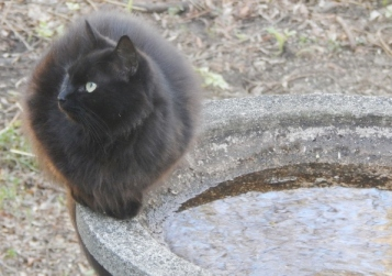 neighbors cat sitting on the birdbath & keeping an eye on the feeders