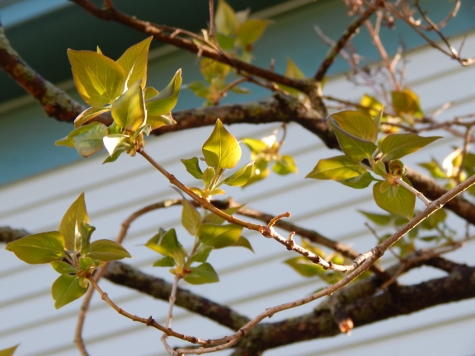 lilac leaves budding (475x356)