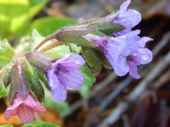 lungwort before the crime
