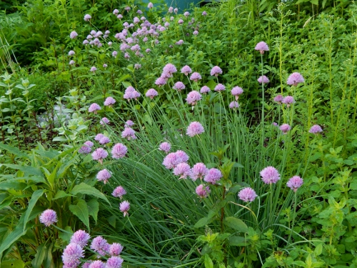 the herb patch with chives in bloom - there is oregano, thyme, mint, feverfew, echinacea in here too.