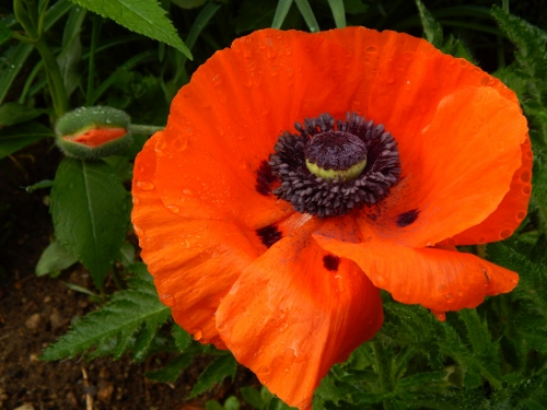poppy from the side garden border