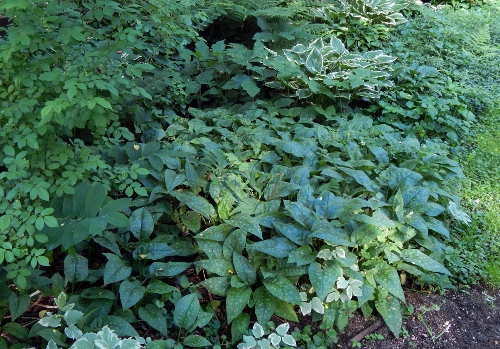 a small section of the shade garden that lives under an apple tree and some lilacs.  I love the shapes and textures of the leaves here as they grow - there is lungwort, snow on the mountain, trillium, jack-in-the-pulpit, hosta, solomon's seal & other plants here.  There was a path until the plants ran it over!
