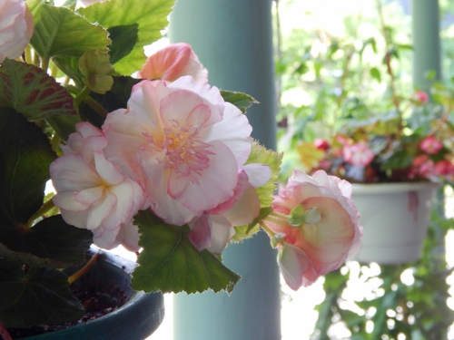 hanging containers of begonias on the porch